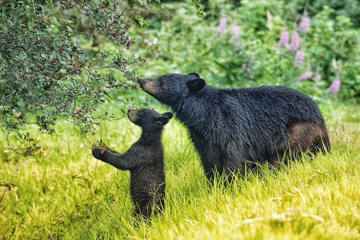 Coquitlam resident Maja Lakhani finished second place in the wilderness settings category with a picture of two bears snatching berries from a tree (Maja Lakhani)